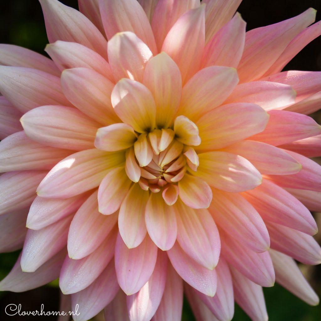 Dahlias_zoveel_ kleuren_vormen_soorten_cloverhome.nl