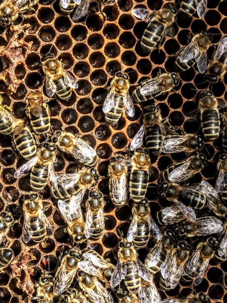 bijen in honingraat
