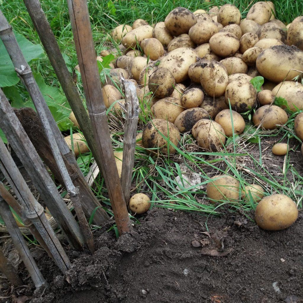 berg gerooide aardappelen