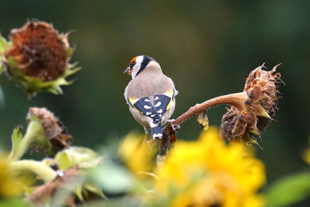 vogel Puttertje